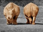 Rhinos - front and back by Walter Sittig