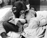Chimp trying to feed baby by John Drysdale