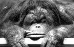 Bored orangutan by Jürgen Siegmann