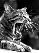 Cat yawning by Harald Thiessen
