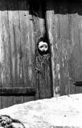 Pig pokes his nose through a hole in the fence by Paul Hartjens