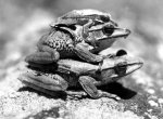 Three frogs sitting on one another by Walter Sittig