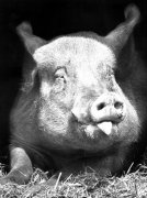 Pig sticking out his tongue by Walter Sittig