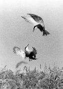Birds in courting display by Erik Jan Ouwerkerk