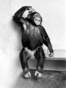 Chimp scratching its head by Heinrich Von Der Becke