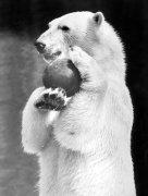 Polar bear playing with a ball by Walter Sittig