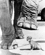 Elephant stepping over a lion cub by John Drysdale