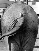 Mouse on the tail of an elephant by John Drysdale