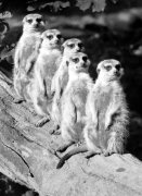 Row of meerkats by Walter Sittig