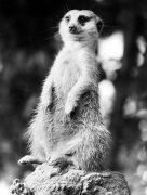 Meerkat by Thea Wind