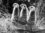 Three meerkats by Walter Sittig