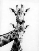 Two curious giraffes