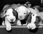 Three puppies peeking out of a box by Stefano Signorini