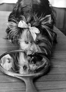 Vain little dog with mirror by John Drysdale