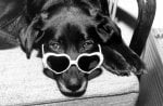 Dachshund wearing heart-shaped sunglasses