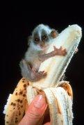 Tiny monkey on a banana by John Drysdale