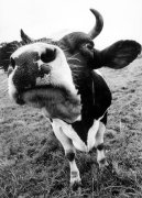 Cow sniffing at the camera by Dietmar Gust