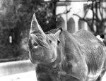 Rhino lifts his head by Thea Wind