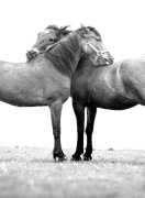 Two Horses Hugging