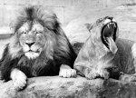 Lions by Walter Sittig