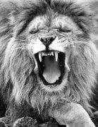Yawning lion by Walter Sittig