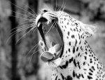 Leopard yawning by Walter Sittig