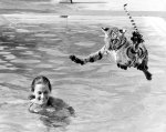 Tiger jumping into swimming pool by John Drysdale