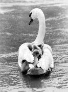 Swan carrying offspring