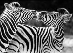 Zebras kissing by Walter Sittig