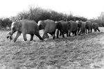 Little girl leads a row of elephants by John Drysdale