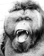Orangutan laughing by Walter Sittig