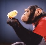 Chimp and chick by John Drysdale