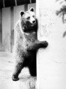 Brown bear peeking around corner by Walter Sittig