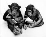 Chimpanzees cuddling puppies by John Drysdale