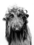 Afghan hound with hair curlers