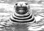 Fat walrus by Walter Sittig