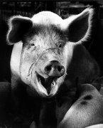 Smiling pig by Miller & Gelderen
