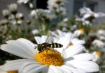 Wasp sitting on a daisy by Rosseforp