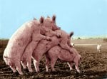 Pigs climbing by Anonymous