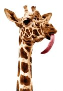 Giraffe with a long tongue by Walter Sittig