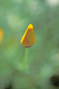 Closed yellow flower by Rosseforp