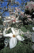 Magnolia in bloom by Rosseforp