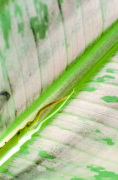 Banana leaf close-up by Rosseforp