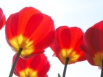 Tulips I by Rosseforp