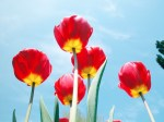 Tulips II by Rosseforp