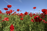 Field of poppies by Rosseforp