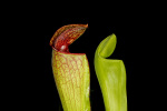 Pitcher plant by Rosseforp