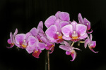 Pink Moth orchid by Rosseforp