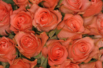 Roses by Rosseforp