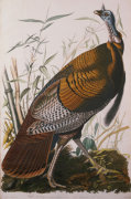 Wild Turkey, Male From 'The Birds Of America', 1827 by Christie's Images